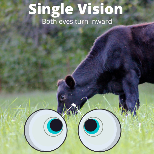 image of a cow in a field with two eyeballs showing proper eye alignment for single vision